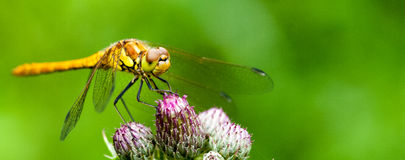 Common darter at rest Stock Photography