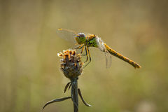 Common Darter side view Stock Images