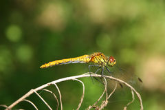 Common Darter (Sympetrum striolatum) Royalty Free Stock Photography