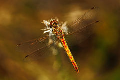 Common Darter, Sympetrum striolatum. Macro picture of dragonfly on the leave. Dragonfly in the nature. Dragonfly in the nature hab Royalty Free Stock Photos