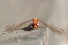 Common Darter (Sympetrum striolatum) Stock Image