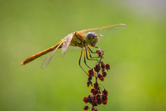 Common Darter (Sympetrum striolatum) side. Front view of a common Darter with his wings spread he is drying his wings in the early, warm sun light stock image