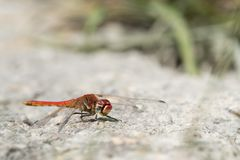 A common darter sitting on the ground stock image