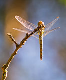 Common darter view from below Royalty Free Stock Image
