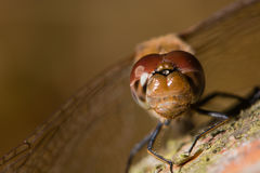 Common darter (Sympetrum striolatum) male compound eyes and frons Stock Images