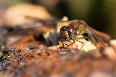 Common darter (Sympetrum striolatum) male Stock Images