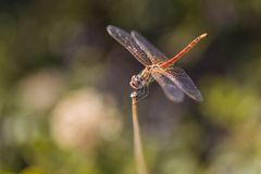 Common darter yellow dragonfly Stock Image