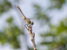 Common darter, young males. Sympetrum striolatum royalty free stock image