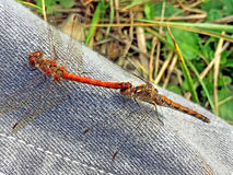Common darters during reproduction Stock Photography