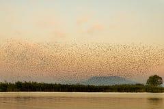 Common, das - Sturnus gemein starling ist Lizenzfreies Stockfoto