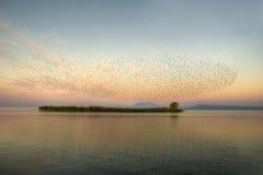Common, das - Sturnus gemein starling ist Lizenzfreie Stockfotografie