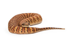 Common Death Adder Snake Coiled Up Royalty Free Stock Photo