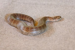 Common death adder at snake show Royalty Free Stock Photo