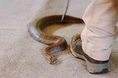 Common death adder at snake show Royalty Free Stock Photos