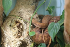Common death adder Royalty Free Stock Photos