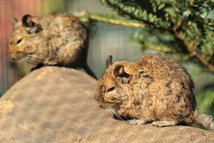 Common degu. The couple of sitting common degus Stock Images