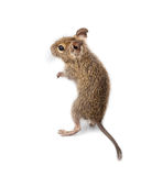 Common Degu, Brush-Tailed Rat, Octodon degus Stock Photography