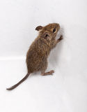 Common Degu, Brush-Tailed Rat, Octodon degus Royalty Free Stock Photography