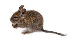 Common Degu, Brush-Tailed Rat, Octodon degus Stock Photo