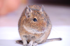 Common Degu. Or Brush-Tailed Rat (Octodon degus) in studio against a white background Stock Photo