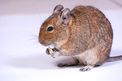 Common Degu Stock Photography
