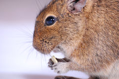 Common Degu Stock Image