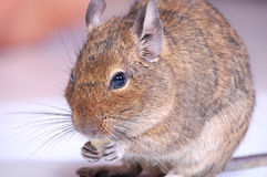 Common Degu Stock Photos