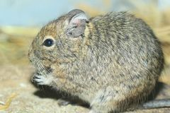 Common degu Royalty Free Stock Images