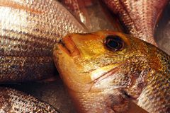 Common dentex at market. Royalty Free Stock Images