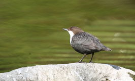 Common dipper. A dipper on a rock in a river Royalty Free Stock Image