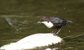 Common dipper. A dipper on a rock in a river catching grubs Stock Photography