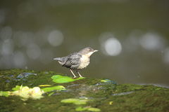 Common dipper. A young dipper in a river Stock Photo