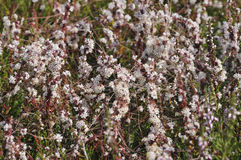 Common Dodder Royalty Free Stock Photography