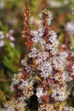Common Dodder Stock Photos