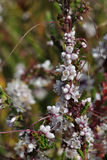 Common Dodder Stock Photo