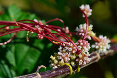 Common dodder (Cuscuta epithymum) Stock Photography