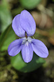 Common Dog-violet - Viola riviniana Royalty Free Stock Photography