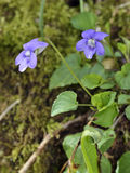 Common Dog-violet Stock Photography
