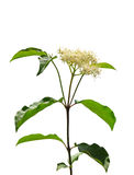 Common dogwood (Cornus sanguinea) Stock Photo