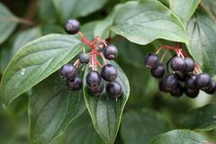 Common Dogwood Fruits Stock Photography