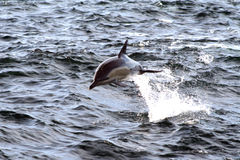 COMMON DOLPHIN BREACHING Stock Images