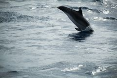 Common Dolphin jumping in Atlantic Ocean. Near Madeira Island, Portugal stock photos