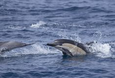 Common Dolphin jumping Stock Images