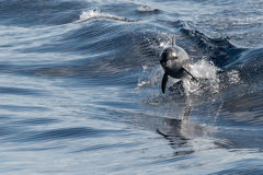 Common dolphin jumping outside the blue ocean. Tursiop dolphin jumping outside the water royalty free stock image