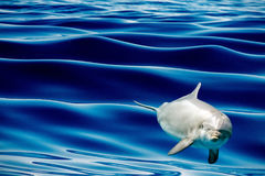 Common dolphin jumping outside the blue ocean. Tursiop dolphin jumping outside the water stock photography