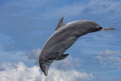 Common dolphin jumping outside the ocean in the blue. Common dolphin jumping in the cloudy sky background stock photos