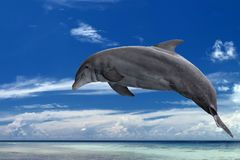 Common dolphin jumping outside the ocean in the blue. Common dolphin jumping in the tropical paradise crystal waters background royalty free stock photo