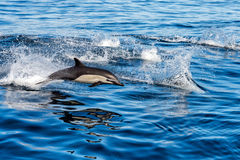 Common dolphin jumping outside the ocean Stock Image