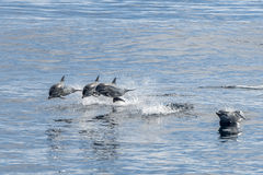 Common dolphin jumping outside the ocean Stock Images