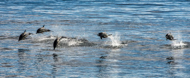 Common dolphin jumping outside the ocean. Common dolphin jumping outside the pacific ocean in California royalty free stock photos